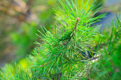 Cone on the branch of coniferous tree.  Royalty Free Stock Photo