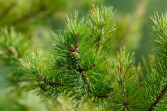 Cone on the branch of pine Royalty Free Stock Image