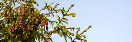 Cone branch on spruce Royalty Free Stock Photo