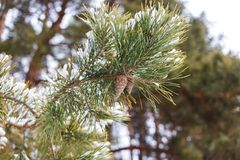 Cone on a branch in winter in a pine forest.  stock images