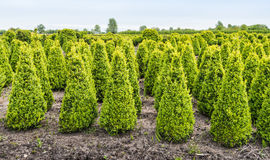 Cone Buxus bushes in a specialized nursery in Netherlands Stock Images