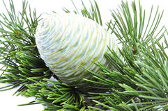 Cone of cedar Stock Photography