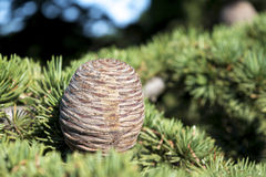 Cone of a cedar tree Royalty Free Stock Photos