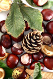 Cone and Chestnut isolated in Stock Photo
