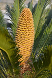 Cone of Cycas Stock Image