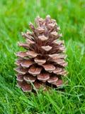 Cone da árvore de pinho na grama verde Foto de Stock