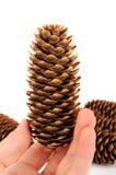Cone de abeto à disposição no branco Imagem de Stock