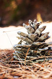 Cone de abeto Foto de Stock