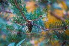 Cone de abeto Foto de Stock Royalty Free