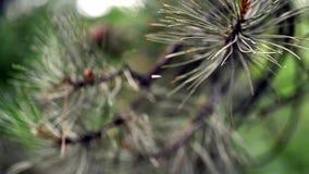 Cone de abeto na árvore filme
