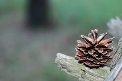 Cone de abeto que se encontra em um ramo Imagens de Stock Royalty Free
