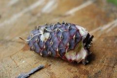 Cone (de pedra) Siberian do pinho Fotografia de Stock