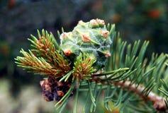 Cone de Pinon Imagem de Stock Royalty Free