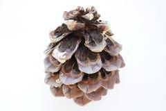 Cone de uma árvore de cedro Foto de Stock