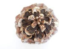 Cone de uma árvore de cedro Fotografia de Stock Royalty Free