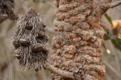 Cone do Banksia imagens de stock