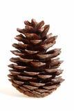 Cone do cedro Imagem de Stock