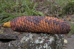 Cone do Cycad Imagem de Stock