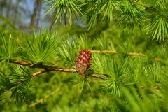Cone do larício na árvore Imagem de Stock Royalty Free