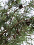 Cone do pinheiro e do pinho Foto de Stock