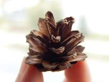 Cone do pinho Imagem de Stock