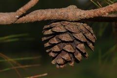 Cone do pinho Fotografia de Stock