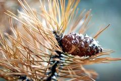 Cone do pinho Foto de Stock Royalty Free
