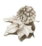 Cone do pinho com folha de plátano secada imagem de stock