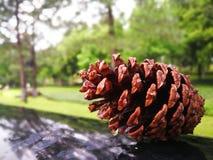 Cone do pinho de Brown no fundo verde da floresta imagem de stock