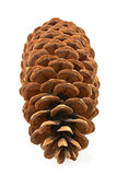 Cone do pinho do açúcar Fotos de Stock