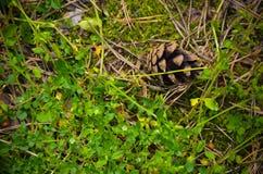 Cone do pinho em um fundo da grama Imagens de Stock Royalty Free