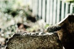 Cone do pinho entre as lajes de pedra em fundo unfocused Fotos de Stock