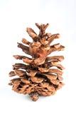 Cone do pinho isolado no fundo branco Imagem de Stock