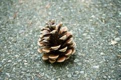 Cone do pinho na estrada Imagens de Stock