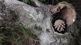 Cone do pinho na floresta da perseguição de Cannock, Reino Unido video estoque