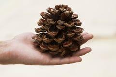 Cone do pinho na mão Imagens de Stock
