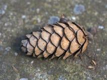 Cone do pinho na terra Fotografia de Stock Royalty Free