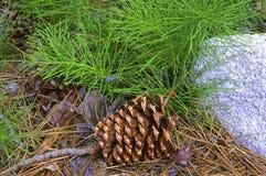 Cone do pinho no assoalho da floresta Foto de Stock Royalty Free