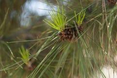 Cone do pinho no pinheiro Imagem de Stock