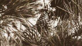 Cone do pinho no pinheiro no Sepia imagens de stock royalty free