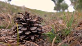 Cone do pinho ou cone das coníferas filme
