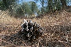 Cone do pinho que coloca na terra na floresta da oliveira fotos de stock