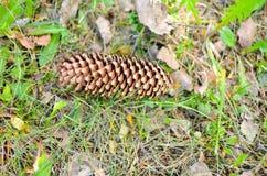 Cone do pinho que encontra-se na grama Imagem de Stock
