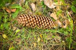 Cone do pinho que encontra-se na grama Imagem de Stock Royalty Free