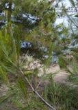Cone e pinheiro do pinho Imagem de Stock Royalty Free