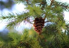 Cone em uma floresta Foto de Stock