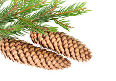Cone on fir branch Stock Photos