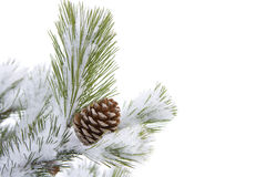 Cone on fir tree Stock Photography