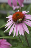 Cone flower royalty free stock image