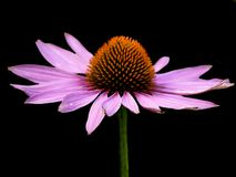Cone flower Stock Photography
